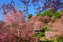 Cherry Blossom or Sakura flower garden at Doi Suthep Chiangmai, Thailand. Cherry Blossom or Sakura flower garden at Khun Chang Kian in Doi Suthep Chiangmai royalty free stock photo