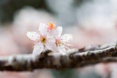 Cherry blossom, sakura flower Stock Image