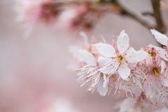 Cherry blossom, sakura flower Stock Photos