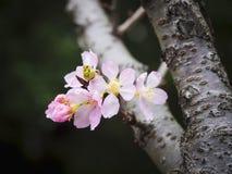 Cherry Blossom Sakura flower in Japan Royalty Free Stock Photo