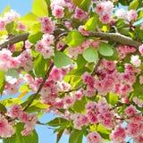 Sakura flower on nature background. Royalty Free Stock Photos