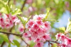 Cherry Blossom or Sakura flower Royalty Free Stock Photo