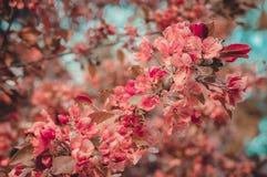 Cherry blossom sakura flower Retro tone Stock Photo