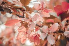 Cherry blossom sakura flower Retro tone Stock Images