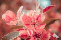 Cherry blossom sakura flower Retro tone Royalty Free Stock Photo