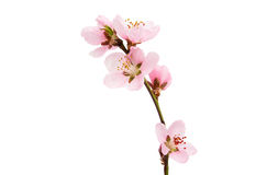 Cherry Blossom, Sakura Flowers Royalty Free Stock Images