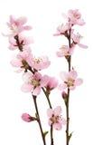 Cherry Blossom, Sakura Flowers Stock Images