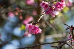 Cherry blossom , sakura flowers Royalty Free Stock Photos