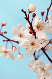 Cherry blossom (sakura flowers),  on blue Stock Photography
