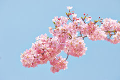 Cherry blossom, sakura flowers Royalty Free Stock Photo