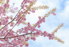 Cherry blossom, sakura flowers. On blue sky Stock Images