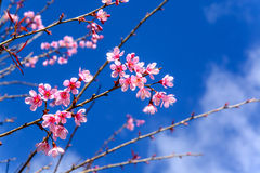 Cherry blossom or sakura flowers with blue sky Royalty Free Stock Photo