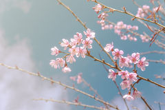 Cherry blossom or sakura flowers with blue sky Stock Images