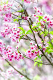 Cherry blossom or sakura flowers Stock Image