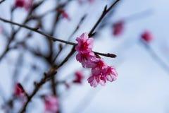 Cherry blossom , sakura flowers Royalty Free Stock Photography