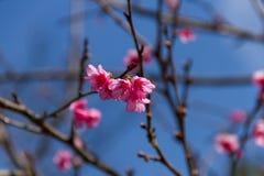 Cherry blossom , sakura flowers Royalty Free Stock Images
