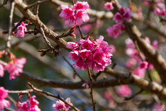 Cherry blossom , sakura flowers Royalty Free Stock Photo