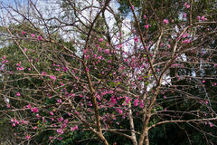 Cherry blossom , sakura flowers Stock Photos