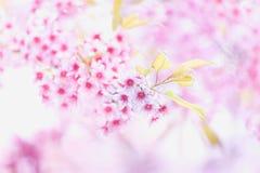 Cherry blossom or sakura flowers Royalty Free Stock Photos