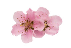 Cherry blossom, sakura flowers isolated Stock Photo