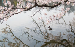 Cherry blossom sakura flowers reflecting in water. And a duck swimming in water - Japan Stock Photos