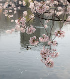Cherry blossom sakura flowers reflecting in water. And a duck swimming in water - Japan Stock Image