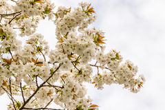 Cherry blossom, sakura flowers at spring, nature, background. White flowers of cherry tree, flowers at spring, nature, background Stock Photo