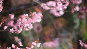 Cherry blossom, sakura flowers stock video