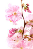 Cherry blossom (sakura flowers), on white Stock Images