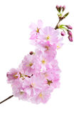 Cherry blossom (sakura flowers), on white Stock Photo