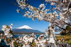 Cherry blossom or sakura with Fujisan. White cherry blossom or sakura with clear blue sky and Mount Fujisan background at Yamanaka lake, Yamanashi, Japan Stock Image