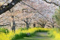 Cherry blossom (Sakura) in garden of japan. Cherry blossom (Sakura) and the pathway in garden of japan royalty free stock photography
