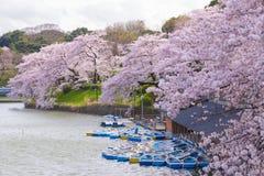 Cherry Blossom Sakura i Chidorigafuchi parkerar, Tokyo, Japan royaltyfria foton