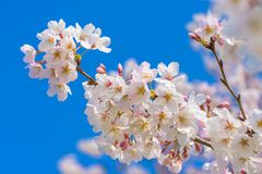 Cherry Blossom Sakura i Saitama, Japan Arkivbild