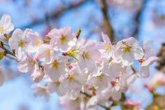 Cherry Blossom Sakura i Saitama, Japan Arkivfoto