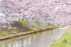 Cherry Blossom Sakura i Saitama, Japan Fotografering för Bildbyråer