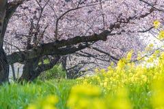 Cherry Blossom Sakura in Japan royalty-vrije stock foto