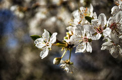 Cherry Blossom. Sakura Cherry Blossom in Japan Stock Photos