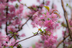 A cherry blossom or Sakura in Japan. The blooming flower represents the Spring and also is one of the Japanese famous symbol. Stock Photo