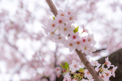 A cherry blossom or Sakura in Japan. The blooming flower represents the Spring and also is one of the Japanese famous symbol. Royalty Free Stock Photos