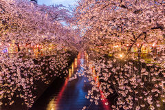 Cherry blossom or Sakura at Meguro Canal. stock images