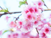 Cherry blossom, Sakura, in nature with selective focus Royalty Free Stock Photo