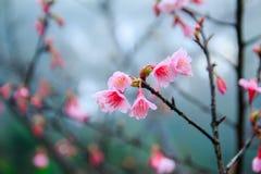 Cherry Blossom and Sakura Royalty Free Stock Photo