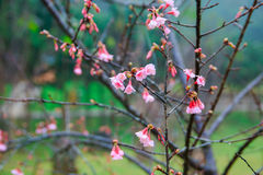 Cherry Blossom and Sakura Royalty Free Stock Images
