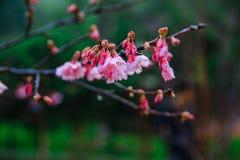 Cherry Blossom and Sakura Royalty Free Stock Photography