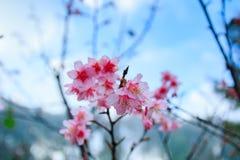 Cherry Blossom and Sakura Royalty Free Stock Photos