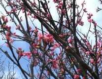 Cherry Blossom Sakura. Pink red cherry blossom sakura flowers on tree top in Taiwan Stock Photos