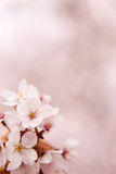 Cherry Blossom (sakura). Cherry Blossom(sakura) in Republic of Korea stock image
