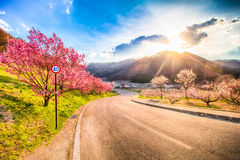 Cherry Blossom and sakura on road . Stock Images