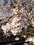 Cherry Blossom/Sakura rosa Fotografie Stock